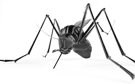 anopheles: Black isolated mosquito. 3d rendering