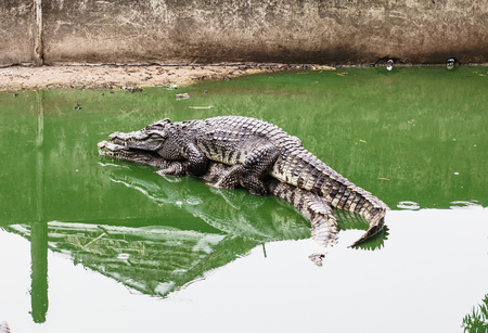 hugs of the couple of crocodiles in the water
