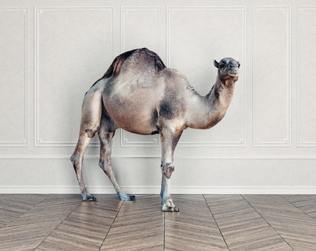 The camel in the room. Stock Photo