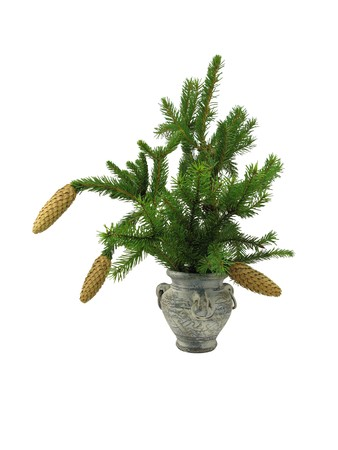 Fir branch with cones in old vase isolated on white Stock Photo