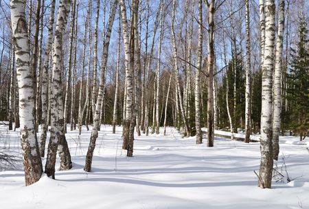 View of birch forest in winter time, Russia