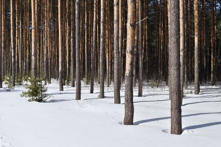 View of pine forest edge on sunny winter day Stock Photo