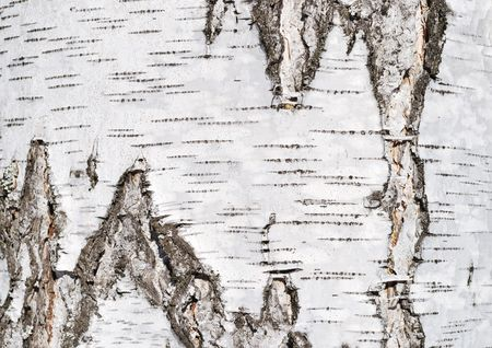 Close up of birch tree bark surface texture photo