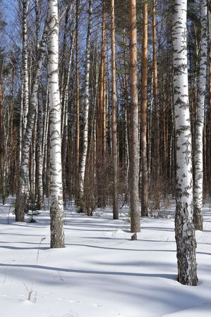 View of birch trees in winter forest Stock Photo - 6701673