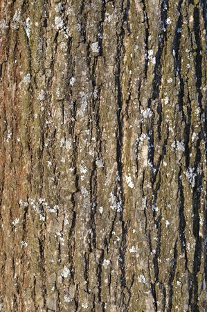 Close up of old linden bark surface with lichen