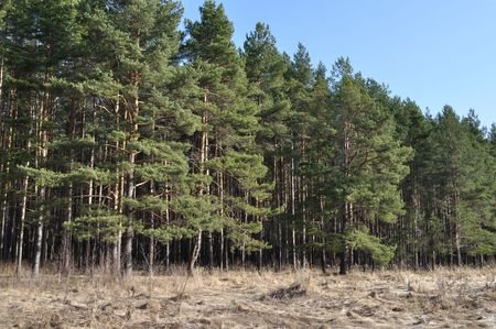 View of coniferous forest edge in spring time, Russia