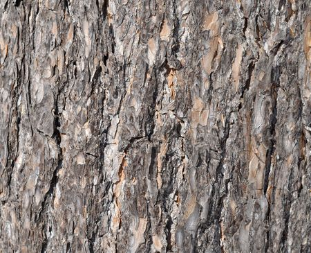 Close up of old pine bark surface texture Stock Photo