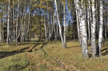 Earth road between birch trees in the forest, autumn, Russia