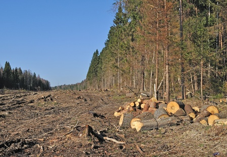 logging: Deforested area in coniferous forest with piles of cutted chocks, Russia