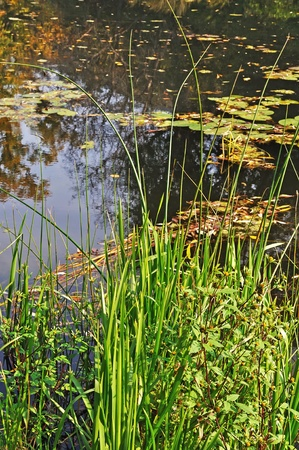 rushy: Rushy riverbank and still water with leaves, sunny day