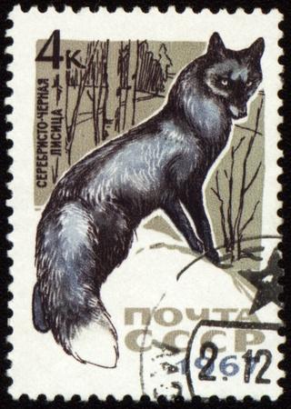 silver fox: URSS - alrededor de 1967: sello de correos impreso en la URSS muestra negro fox, alrededor de 1967