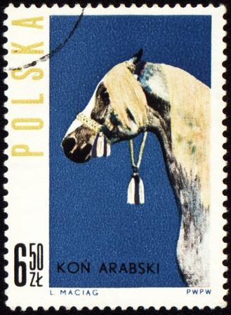 POLAND - CIRCA 1963: stamp printed in Poland shows Arabian horse, circa 1963