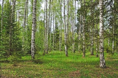 Glade in birch forest, spring time