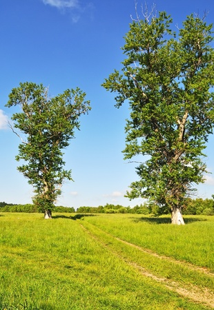 Country summer landscape with meadow and dirt road between two old big trees, forest on background photo