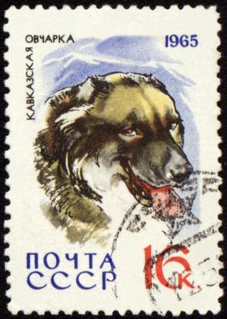 caucasian shepherd: USSR - CIRCA 1965: stamp printed in USSR shows Caucasian Shepherd, series Dogs, circa 1965 Stock Photo