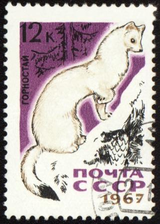 gronostaj: USSR - CIRCA 1967: post Stempel drukowane w ZSRR pokazuje gronostajem w lesie, serii, około 1967