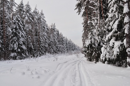 Trails in the snow-covered winter forest, Russia