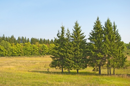 Firs in the meadow, sunny summer day