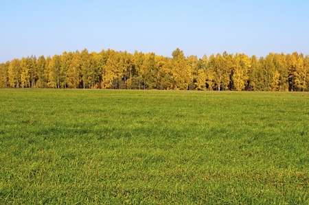 Yellow birch on the edge of the green field, sunny autumn day