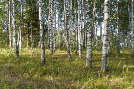 greenwood: View of birch grove on sunny summer day