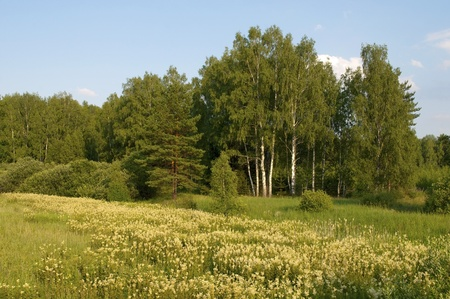 Country summer landscape with blooming forest glade in the evening