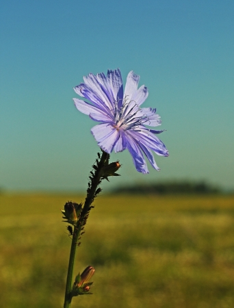 chicory flower: Common chicory flower  Cichorium intybus