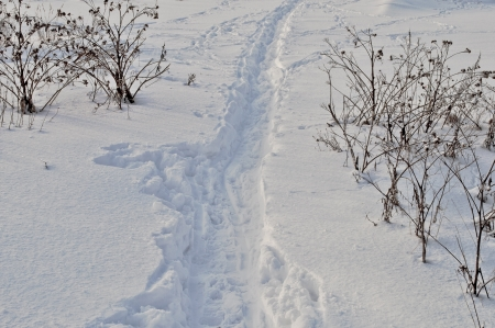 Path in snow between the bushes dry thistles photo