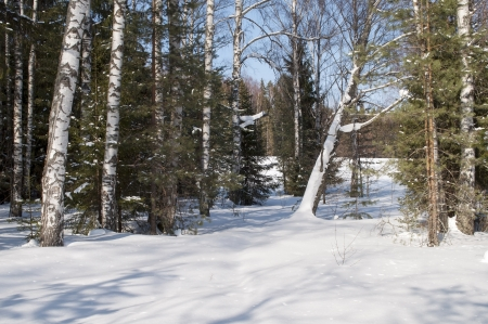 Winter forest in sunny day photo