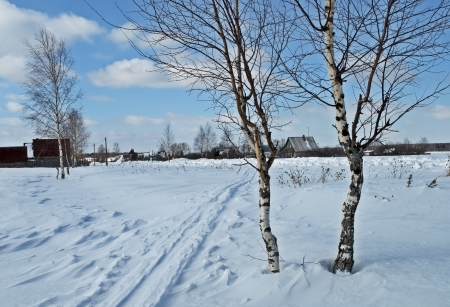 Young birch trees in a field on village background, winter sunny day photo