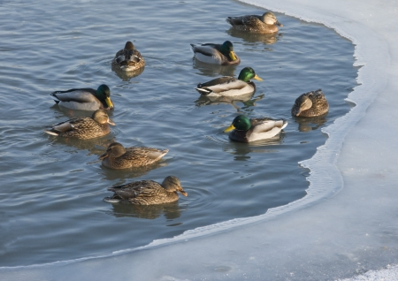 Winter pond with flock of swimming ducks photo