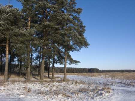 Edge of winter forest with pine trees, Russia photo