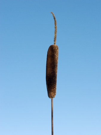 Close up of brown cattails on blue sky background photo