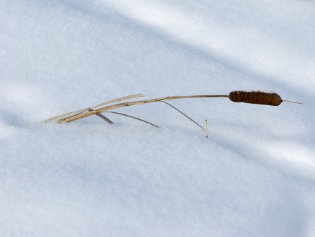 Dry cattails fallen on the snow surface photo