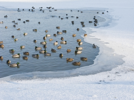 View of frozen pond with swimming ducks photo