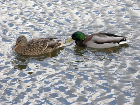 Pair of ducks swimming in water photo