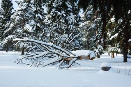 sawed: Sawed tree under snow in coniferous winter forest