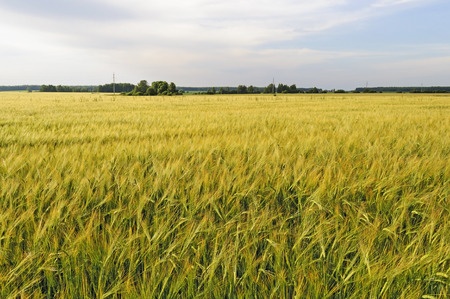 rural landscape: Rural landscape with yellow field of rye at sunset Stock Photo