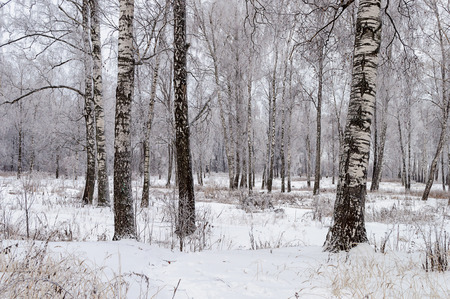 Winter forest landscape, bare birch trees covered with hoarfrost photo