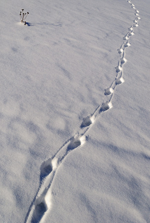 Animal tracks in the snow, sunny winter day Stock Photo