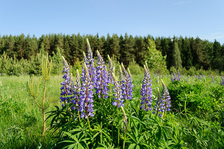 lupines: Blooming lupines on the background of pine forest in summer