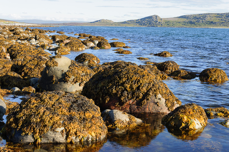 wrack: Boulders on the Barents Sea coast, covered with brown algae. Sunny summer day