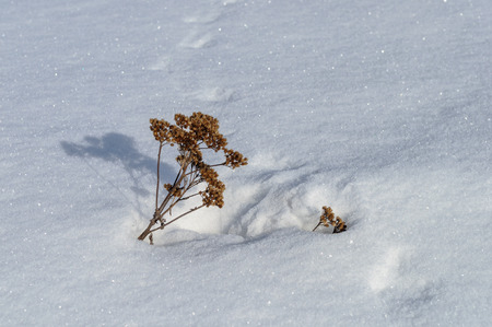snowy field: Branch of dry tansy on snowy field, sunny winter day