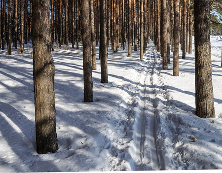 ski track: Ski track between pine trees in winter forest