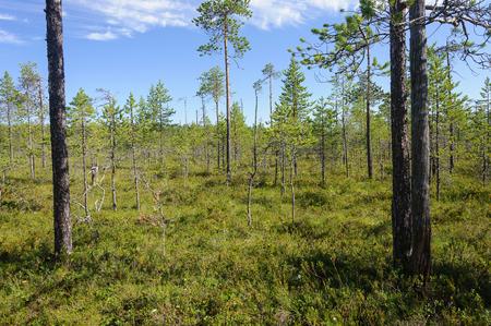 swampy: Pine trees in swampy tundra, sunny summer day, Karelia