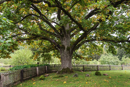gory: Old thick oak tree in park of the Mikhailovskoye village, Pushkinskiye Gory Reserve, Russia Stock Photo