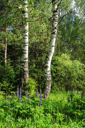 lupines: Two birches and lupines in the forest, summer time
