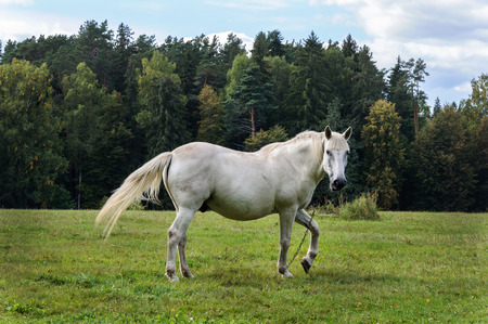 White horse is grazing in a meadow near the village of Mikhailovskoye, Pushkinsky Reserve, Russia Zdjęcie Seryjne