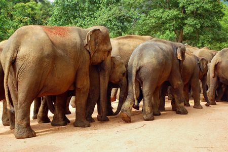 The elephants in the elephant orphanage in Sri Lanka are ready to go to the river Stock Photo