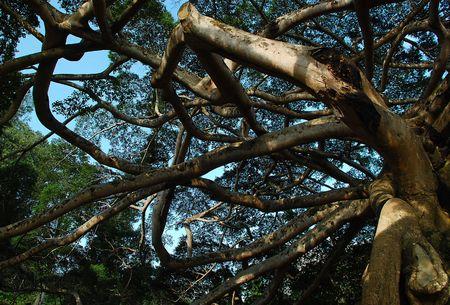banyan: Este enorme Banyan Tree crece en el jard�n bot�nico en Sri Lanka, no lejos de la ciudad de Kandy.