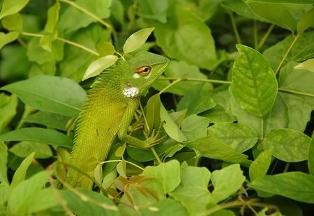 mimetism: Variable lizard in the background of green leaves in Sri Lanka.